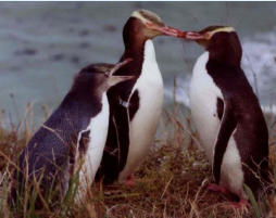 There is a large resident penguin colony a few minutes drive from Kaka Point township.